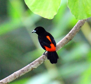 Scarlet-rumped Tanager Cherries Male