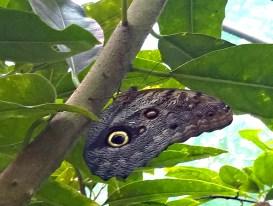 Owl's Eye Butterfly