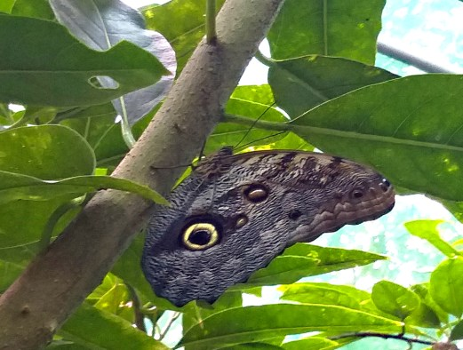 Owl's Eye Butterfly