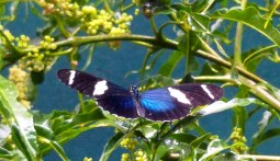 Sara Longwing Heliconian