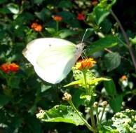 Felder's White