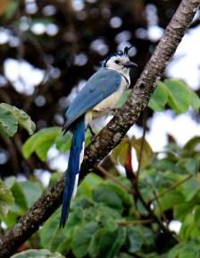 Magpie Jay