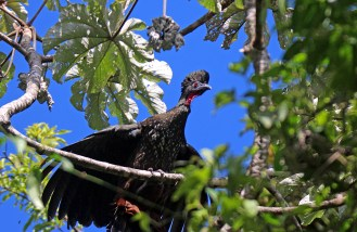 Crested Guan in the Park.