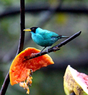 Green Honeycreeper Male