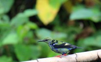 Immature Red-legged Honeycreeper Male