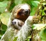 Sloth Baby-A-WEB