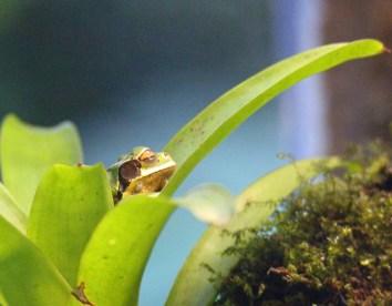 Masked Frog