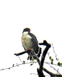Semiiplumbeous Hawk