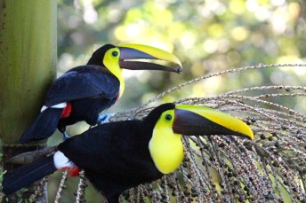 Yellow-throated Toucans