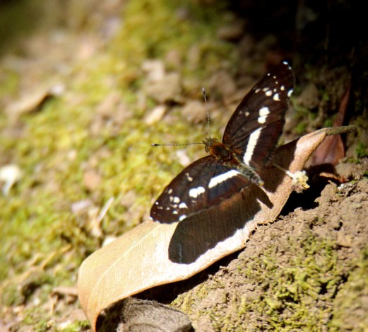 White-dotted Crescent - NEW