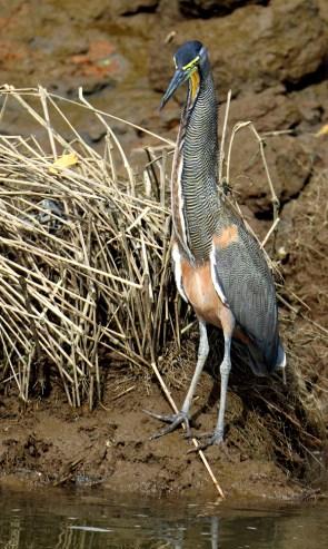 Bare-throated Tiger-Heron