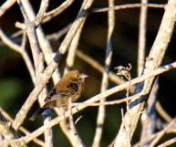 Immature Blue-black Grassquit female