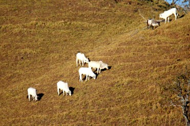 Cattle on the next hill