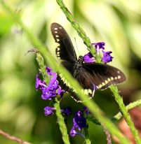 Polydamas Swallowtail on Porter Weed