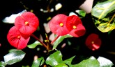 Thornless Crown of Thorns