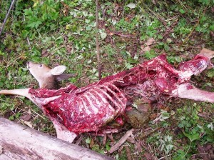 What Ate My Deer?