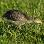 Wild turkey poults must feed extensively during summer months.