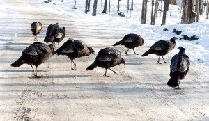 Colder than normal spring is causing to turkeys to feed in groups.