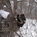 Below Zero; Raccoons are Out?