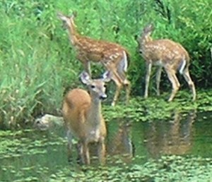 doe-2-fawns