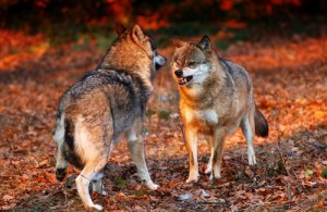 Wolves onto a Fight