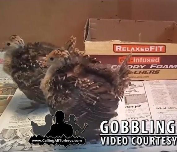 Gobbling Baby Turkeys