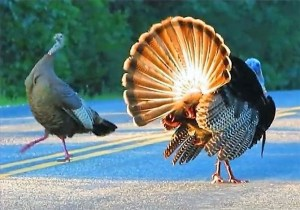 Wild Turkey Mating In the Middle of Road!?  Lookout a Car is Coming! Video Proof