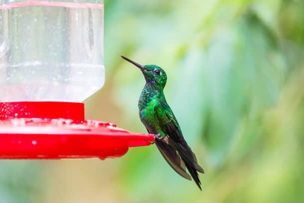 Colorful Hummingbird In Costa Rica Central America
