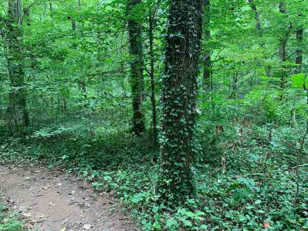 Ribbon Walk ivy covered trees