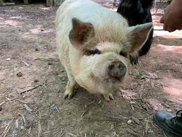 Friendly light-colored pig on farm