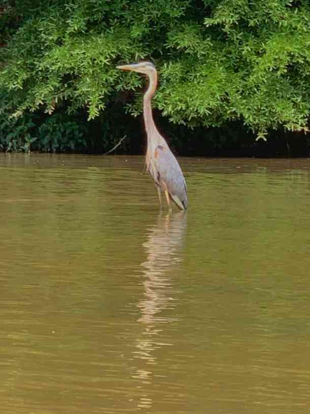 heron on catawba river