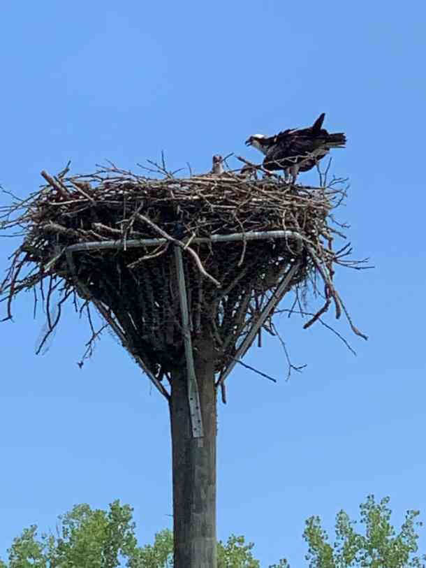 osprey nest on catawba river
