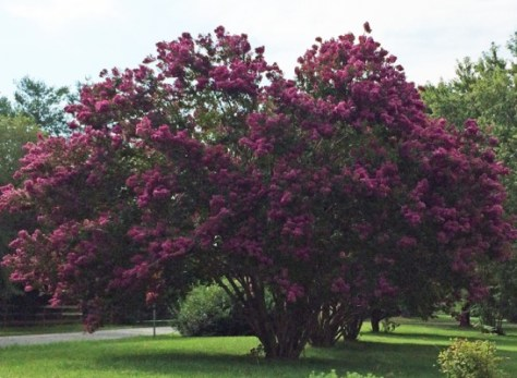crepe myrtle on woodlands rd July 2015-1