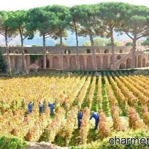 Pompei, vigneti nell'area del Foro Boario