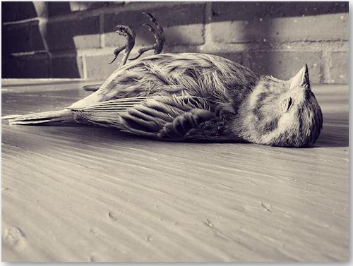 toter Grünfink - © Liisa Anderson