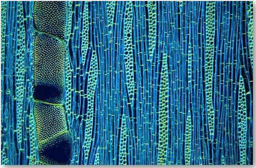 Wood cells of Ilex aquifolium - © Wim van Egmond