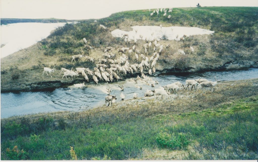 Reindeer on migration in the northern Komi Republic