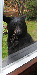 bear crashes