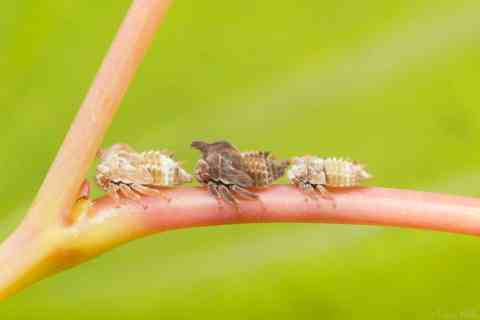 three two-marked treehopper nymphs lined up on leaf stem