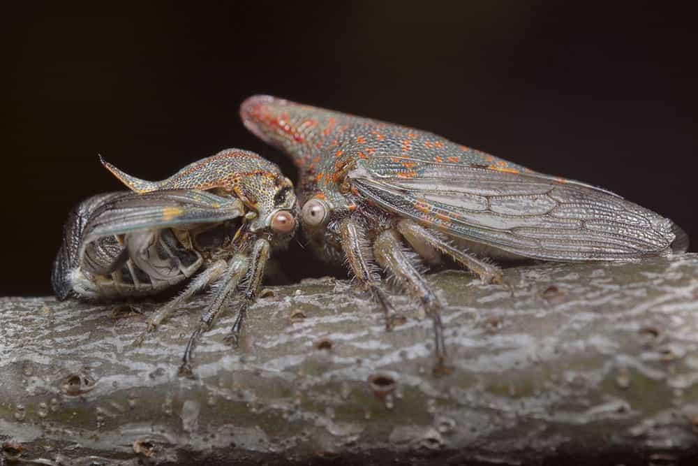 Oak treehopper mother with deformed nymph