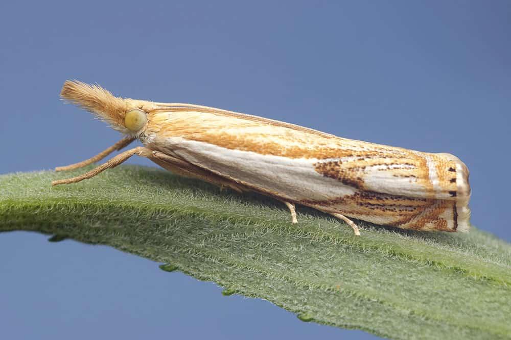 Grass moth on leaf