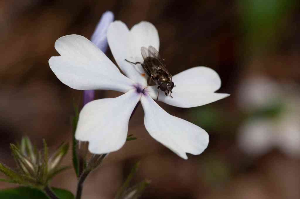 Native plant woodland phlox with fly