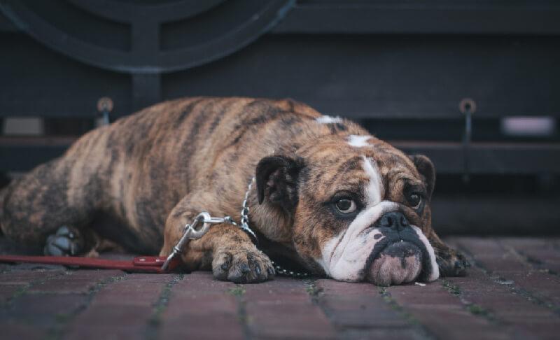 A grumpy looking bulldog lying down on a brick-layered street
