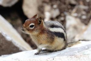 A cute friendly Ground Squirrel
