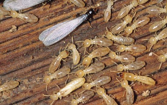 wood termites | Chattanooga Home Inspector | Spot termites Chattanooga