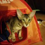 Josquin sous la tente