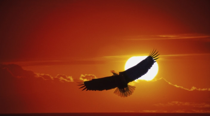 Eagle soaring with sunset behind