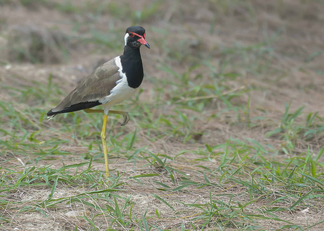 Photos of Lapwings