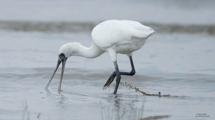 Black-faced Spoonbill's behaviours