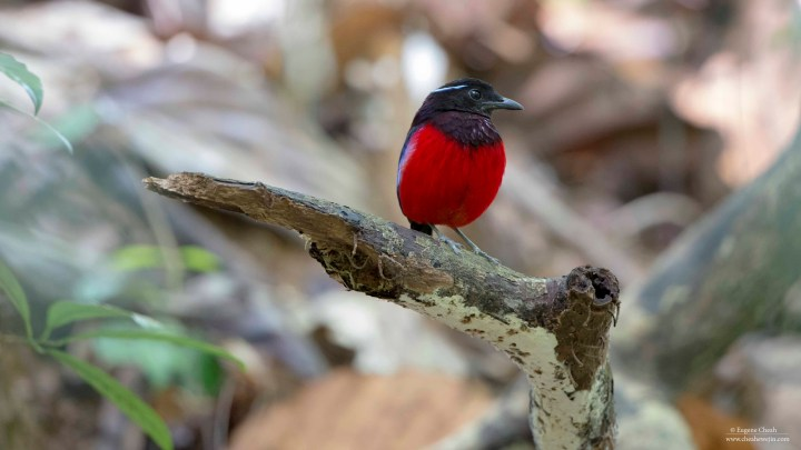 Black and Crimson Pitta at Rainforest Discovery Center (RDC), Sandakan